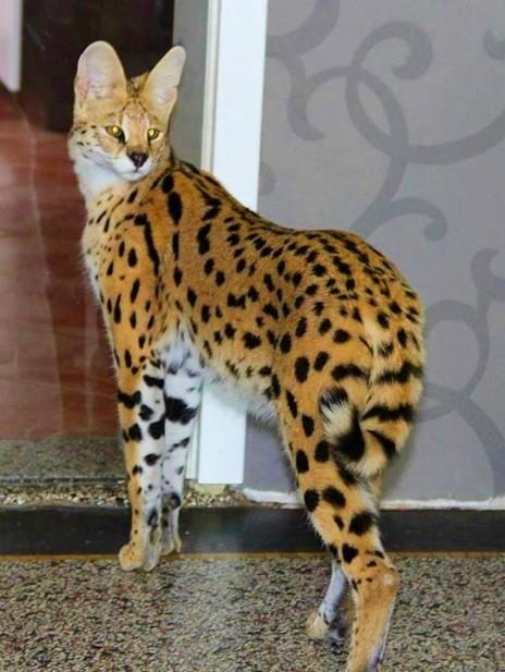 Big Savannah Cat Pics